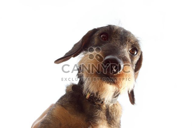 Coarse haired Dachshund dog - Free image #359147
