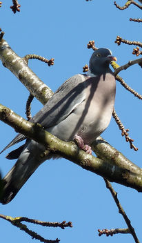 Cherry picking Pigeon... - image #361707 gratis