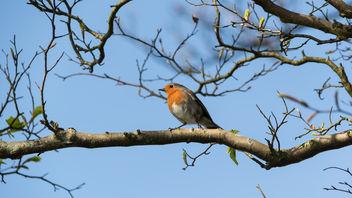 European Robin (Erithacus rubecula) - Free image #366017