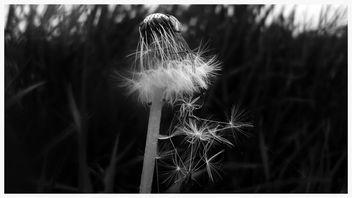 Dandelion - image gratuit #369177