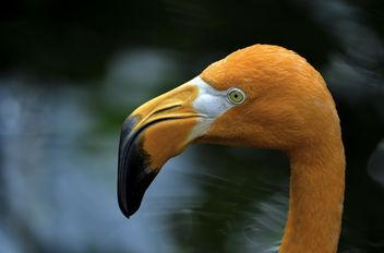 Flamingo - Kostenloses image #371247