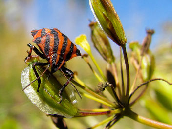 Shield bug - image gratuit #376577