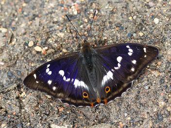 Purple Emperor - Free image #376707