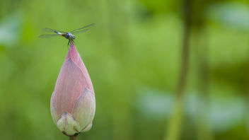Dragonfly on a lotus bud - image #382257 gratis