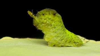 Caterpillar with expandable horn - Free image #383497