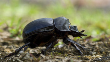 Dung beetle - Kostenloses image #387017