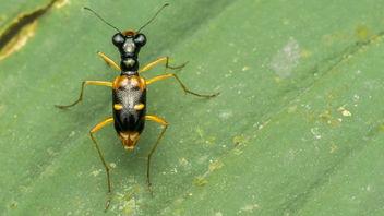 Tiger Beetle - image gratuit #388667