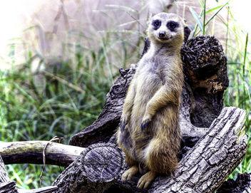 Meerkat Posing - image #393517 gratis