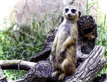 Meerkat Posing - Kostenloses image #393517