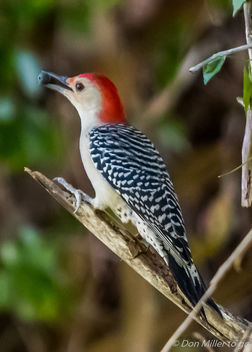 Red bellied woodpecker - Free image #395087