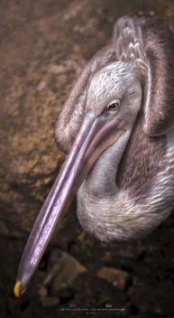 Brown Pelican 2 - image #397717 gratis