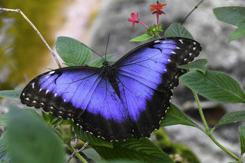 Blue Morpho Butterfly - бесплатный image #403857