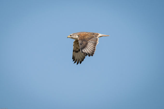 ferruginous flight-2 - Free image #405287