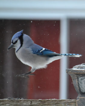 The Bluejay Hop - Free image #412437