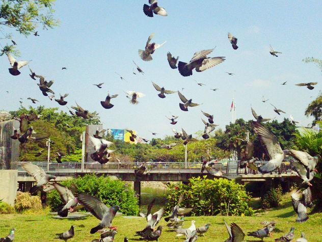 Pigeons Flying - Free image #413147