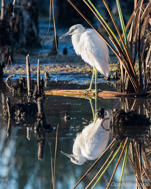 Which Way is Up? Immature Little Blue Heron - Free image #414017