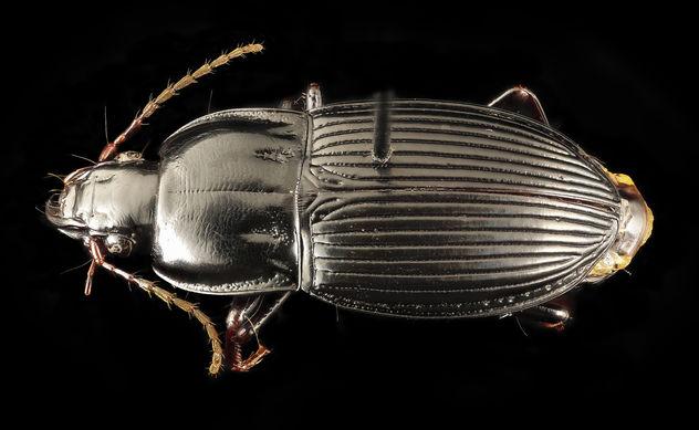 Pterostichus permundus, u, maryland, cove point, back_2017-01-13-11.11.29 ZS PMax UDR - Free image #414137