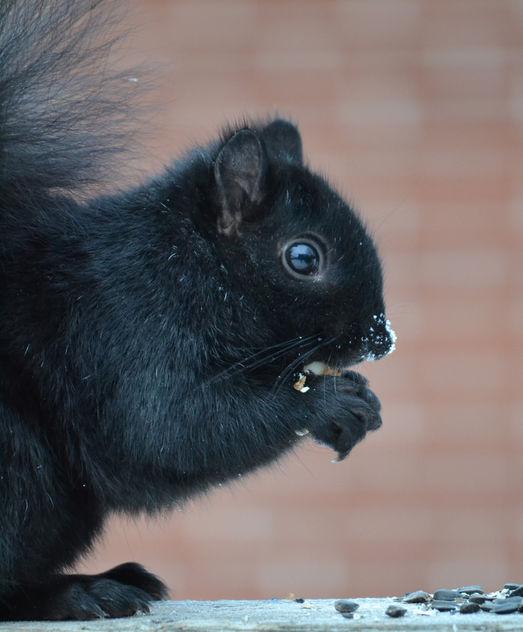 Mr. Frosty Nose Black Squirrel - image gratuit #414167