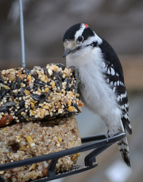 Downy Woodpecker - image #415227 gratis