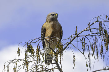 Red-Shouldered Hawk - image #420827 gratis