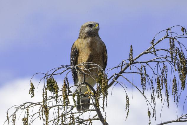 Red-Shouldered Hawk - бесплатный image #420827