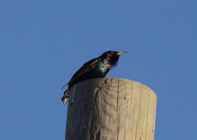 European Starling - Free image #421597