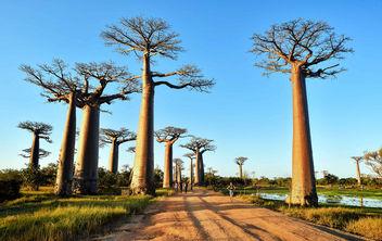Allee des Baobabs - image #423947 gratis