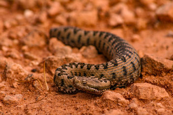 Snub-nosed viper (Vipera latastei) - бесплатный image #425507
