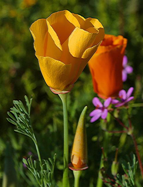 Yellow Poppy - image #427397 gratis