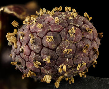 Symplocarpus foetidus,_skunk_cabbage_spadix_inforescence_Helen_Lowe_Metzman_2017-03-16-18.37 - бесплатный image #427527