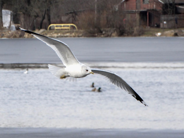 Common gull // Larus canus - image #427537 gratis