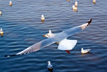 Seagull flying over the sea - image #136297 gratis