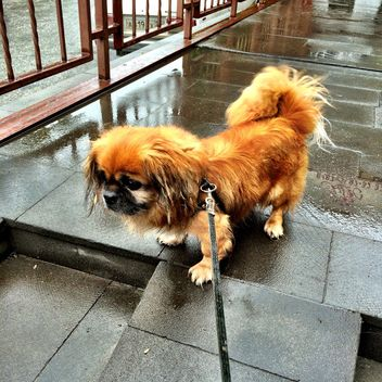 Pekingese on a leash - бесплатный image #183207