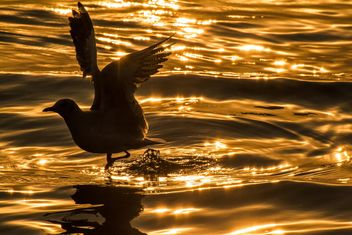 Seagull at sunset - Free image #183887