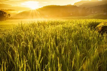 Rice field in morning sun light - бесплатный image #184277