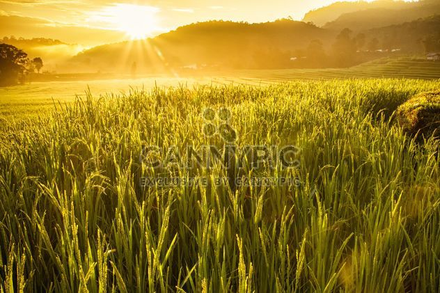 Rice field in morning sun light - image #184277 gratis