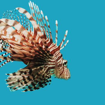 Striped fish in aquarium - image #184567 gratis
