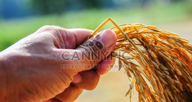 Rice spica in hand - Free image #186357