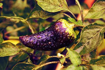 Growing eggplant in water drops - image gratuit #186747