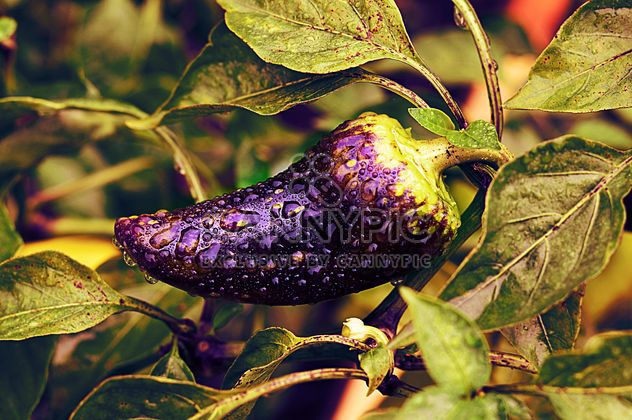 Growing eggplant in water drops - Free image #186747