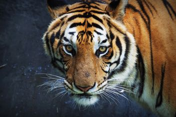 Tiger in Thailand zoo - бесплатный image #186927