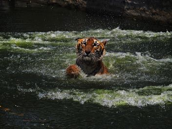 Portrait of tiger in river - image #186937 gratis