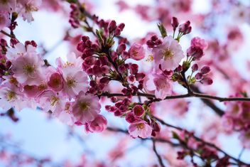 Cherry blossom in spring - image gratuit #187617
