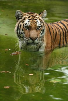 Tiger in the Zoo - image gratuit #187787
