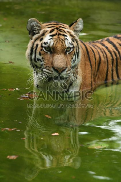 Tiger in the Zoo - Free image #187787