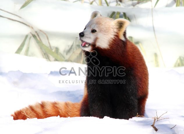 Cute Red Panda - Free image #187807
