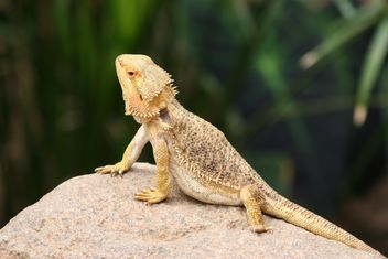 Bearded Dragon on stone - Free image #187837