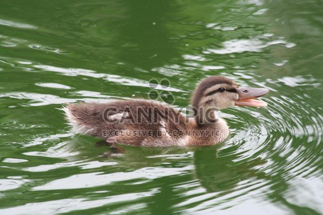 Cute Duckling in water - Free image #187887