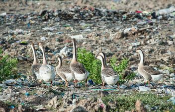 Group of geese on dump - Free image #200347