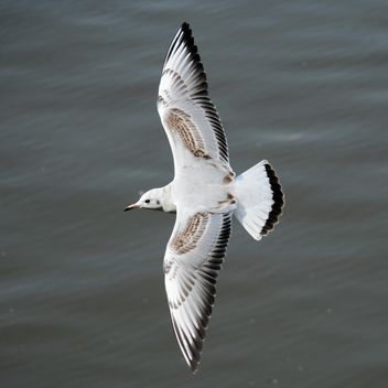 Seagull flying over sea - image #201427 gratis